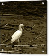 White Snowy Egret Acrylic Print