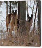 White-tailed Deer Acrylic Print