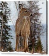 White-tailed Deer Three Acrylic Print