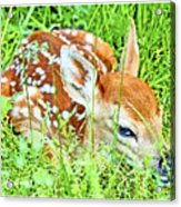 White-tailed. Virginia Deer Fawn Acrylic Print
