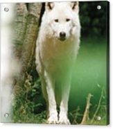 White Wolf Stare Acrylic Print