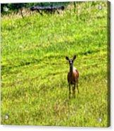 Whitetail Deer And Hay Rake Acrylic Print