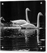 Whooper Swan Family Acrylic Print