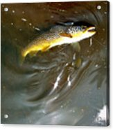 Wild Brown Trout Acrylic Print
