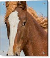 Wild Foal Acrylic Print