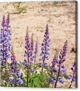 Wild Lupine Flowers Acrylic Print