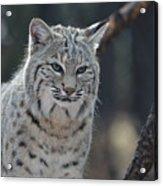 Wild Lynx Cat Acrylic Print