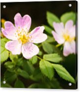 Wild Pink Eglantine Acrylic Print