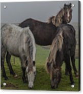 Wild Ponies On The Preseli Mountains Pembrokeshire Acrylic Print