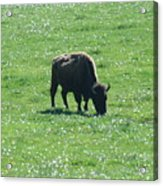 Wisconsin Buffalo Acrylic Print