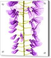 Wisteria Flowers, X-ray Acrylic Print