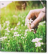 Woman Picking Up Flowers On A Meadow, Hand Close-up. Vintage Light Acrylic Print