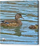 Wood Duck And Baby Acrylic Print
