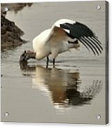 Wood Stork Winging It Acrylic Print
