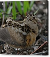 Woodcock In The Woods Acrylic Print