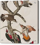 Woodpeckers Acrylic Print