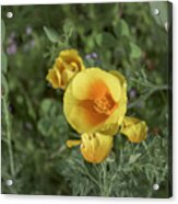 Yellow And Orange Poppy Acrylic Print