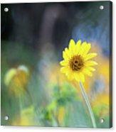 Yellow Arrowleaf Balsamroot  Acrylic Print