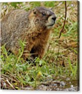Yellow-bellied Marmot Acrylic Print