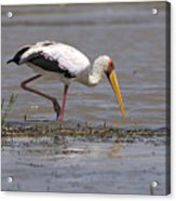 Yellow Billed Stork Acrylic Print