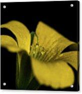 Yellow Clover Acrylic Print