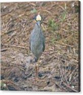 Yellow Crowned Night Heron At Tidal Creek Acrylic Print