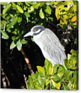 Yellow Crowned Night Heron Acrylic Print