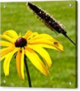1 Yellow Daisy 2 Yellow Bugs Acrylic Print