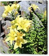 Yellow Day Lillies Acrylic Print