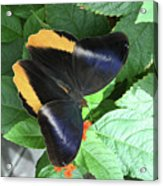 Yellow-edged Giant Owl Butterfly #6 Acrylic Print