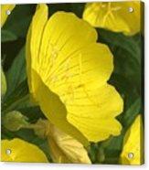 Yellow Evening Primrose Acrylic Print