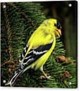 Yellow Finch Acrylic Print