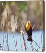Yellow-headed Blackbird Acrylic Print