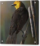Yellow Headed Blackbird On Cattails Acrylic Print