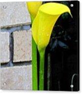yellow Lily. Acrylic Print