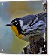 Yellow Throat Warbler Acrylic Print