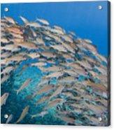 Yellowfin Goatfish Acrylic Print