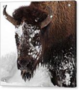 Yellowstone Buffalo Acrylic Print