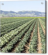 Young Broccoli Field For Seed Production Acrylic Print