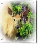 Young Buck Among The Lupin Acrylic Print
