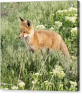 Young Red Tailed Fox Acrylic Print