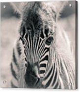 Zebra Colt In Spring Acrylic Print