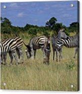Zebra Group Acrylic Print