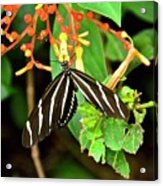 Zebra Longwing On Firebush  Acrylic Print