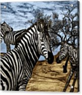 Zebra Outback  Acrylic Print