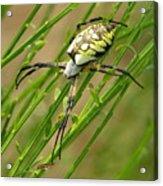 Zebra Spider Acrylic Print