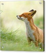 Zen Fox Series - Zen Fox Acrylic Print