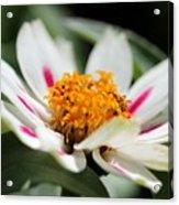 Zinnia Named Zahara Starlight Rose Acrylic Print