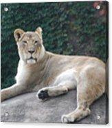 Zoo Lion Acrylic Print