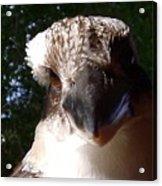 Australia - Kookaburra Up Close Acrylic Print